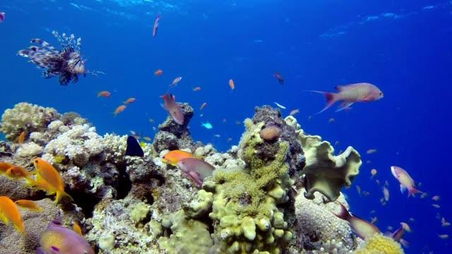 Underwater Marine Life  Lion-Fish video