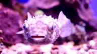 Underwater puffer fish. video