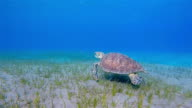 Underwater swimming with Green Sea Turtle video