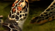 Underwater view of a swimming hawksbill sea turtle video