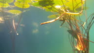 Underwater view of Lilly pads video