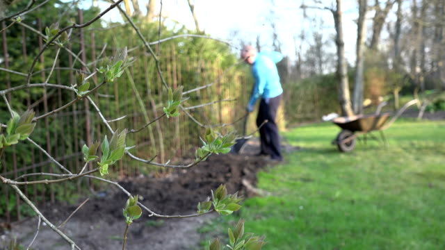 Unfold lilac twig and blurred gardener digging ground soil video
