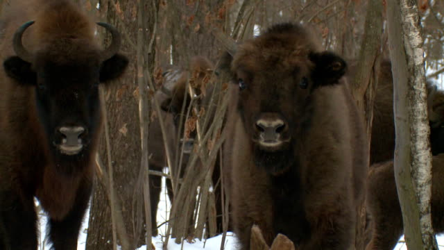 Unicorn bison video