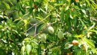 Unripe almonds in the tree video