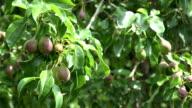 unripe pear fruit hang on tree twig garden. FullHD video