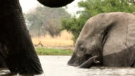 Unusual angle of elephant swimming and framed by legs of another elephant video