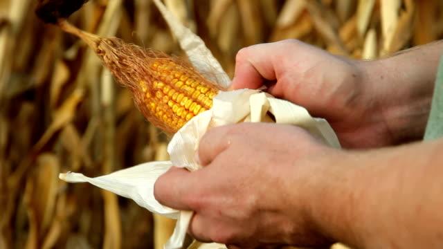 Unwrapping Dried Corn HD video