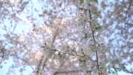 Up Close Cherry Blossoms video