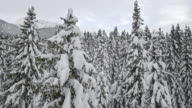 AERIAL Up the spruce tree in a snow covered forest video