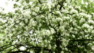 Upper branches of apple tree. Clean and bright daytime. video