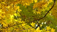 Upper Branches Of Golden Leaves Tree video