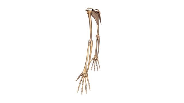 Upper limbs video
