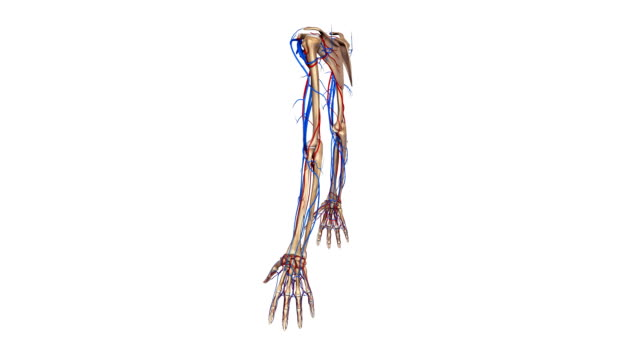 Upper limbs with Arteries and veins video