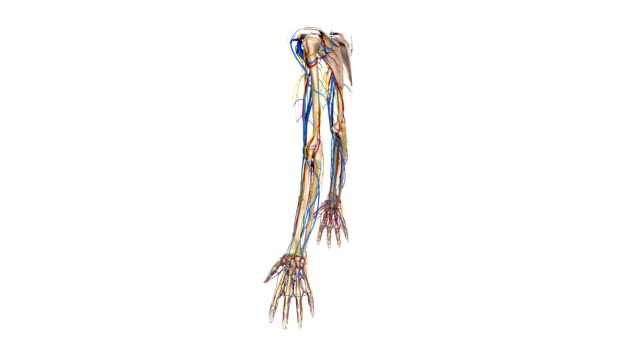 Upper limbs with Arteries, nerves and veins video