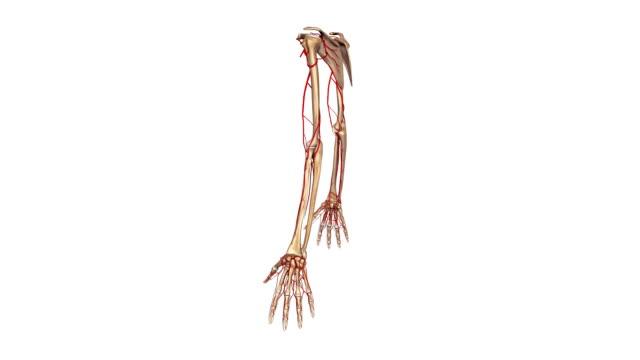 Upper limbs with Arteries video