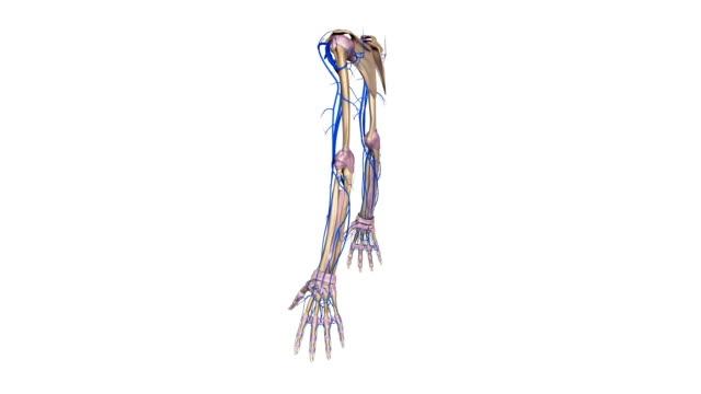 Upper limbs with Ligaments and veins video