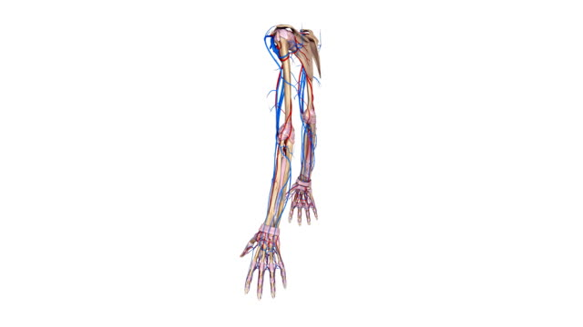 Upper limbs with Ligaments, arteries and veins video