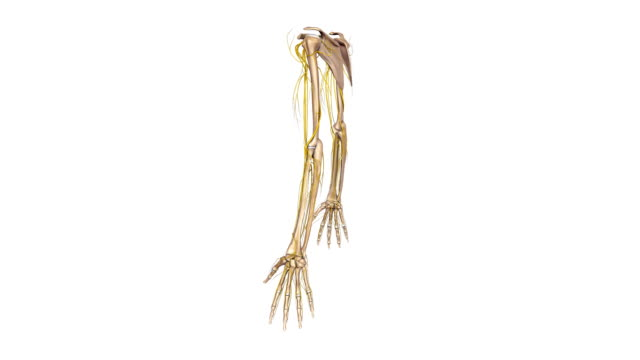 Upper limbs with nerves video