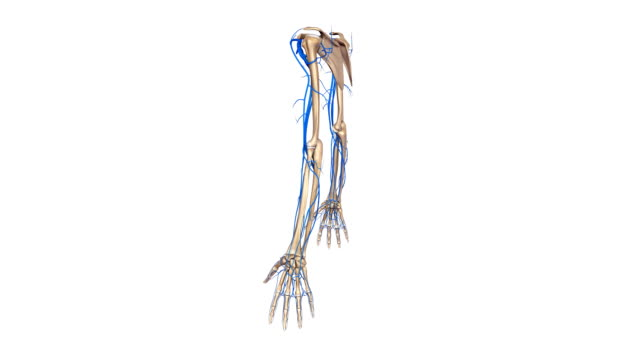 Upper limbs with veins video