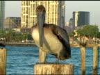 Urban Pelican video