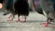 Urban Pigeons Walking on Asphalt video