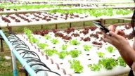 using smart phone in cultivation hydroponics green vegetable in farm video