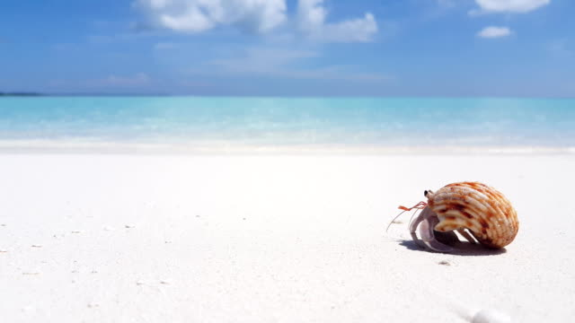 v01731 Maldives beautiful beach background white sandy tropical paradise island with blue sky sea water ocean 4k hermit crab video