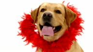 Valentine Labrador puppy dog and red glitter heart isolated on video