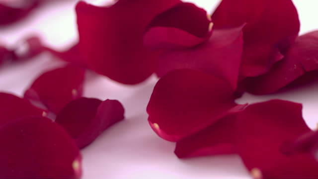 Valentine's Day  rose petals falling video