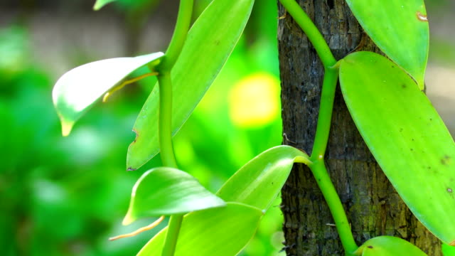 Vanilla plant detail - Reunion Island video