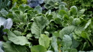 Various cabbages and kidney bean seedbed in the garden VIDEO video
