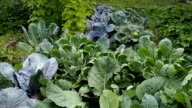 Various cabbages and kidney bean seedbeds in the garden VIDEO video