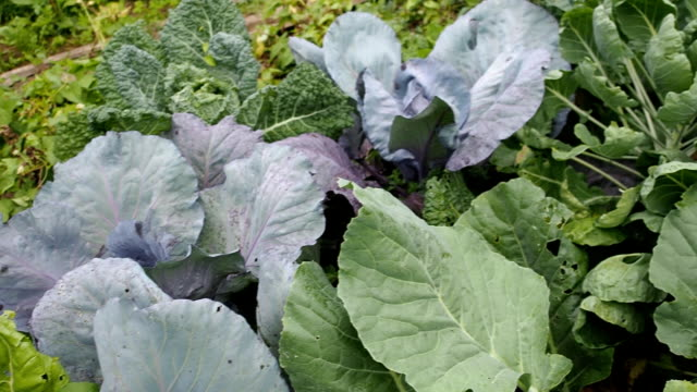 Various cabbages seedbed in the garden VIDEO video