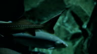 Various kinds of fish swim in large aquarium video