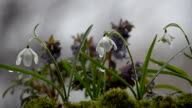 Various spring flowers on a rainy day. Selective focus video