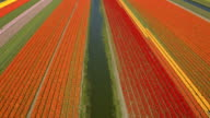 AERIAL: Vast rich colorful field of blooming tulips next to small calm river video