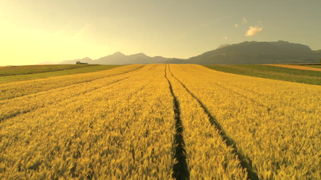 AERIAL: Vast wheat field under rocky mountains at golden sunset in Slovenia video