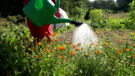 Vegetable garden irrigation by gardener with watering can video