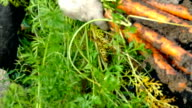 Vegetable growers of carrots video
