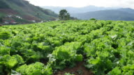 Vegetable plots lettuce on the northern Thailand. video