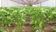 Vegetables greenhouse video