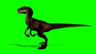 Velocirapor Dinosaurs in motion - green screen video