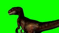 Velociraptor dinosaurs runs - green screen video