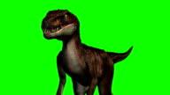Velociraptor dinosaurs walks - green screen video
