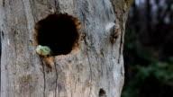Venomous Bush Viper Snake Emerging From Bird Nest video