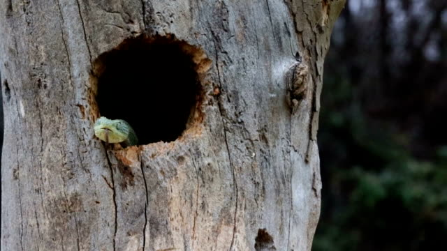 Venomous Bush Viper Snake Emerging From Bird Nest video