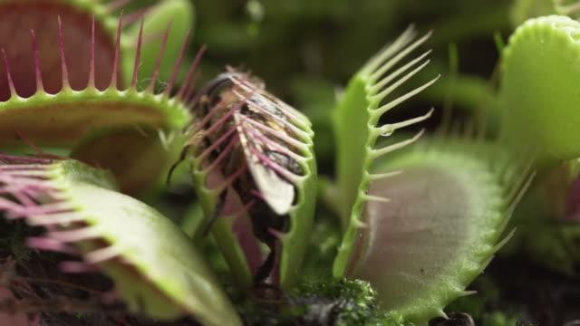SLOW MOTION: Venus flytrap video