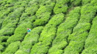 Verdant tea plantation video