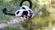 Veriegated Lemur. video