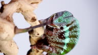 Vertical Chameleon video